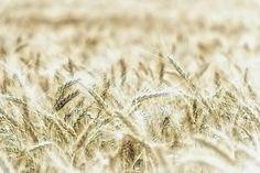 Wheat  Photograph by Jean Francois Gil