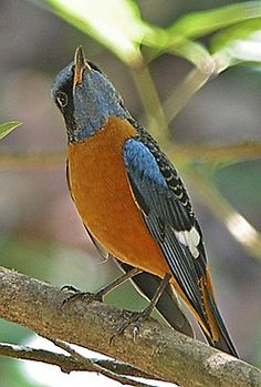 Blue-capped Rock Thrush, Monticola cinclorhynchus, is a species of chat. This Old World flycatcher breeds in the foothills of the Himalayas & winters in the hill forests of S.India.  (Hannu Jännes)