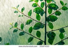 A strong branch of a plant in the summer rain/Wonderful cooling rain/shower on plant - stock photo