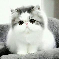Persian kitten, I'm not a cat person but I think I could like this one!