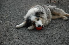 """The Bionic Ball is a hit with Roxy the Traveling Dog.     """"Torrey loves to run, jump and play fetch. She also loves to chew, and the bionic ball has been the best toy for all these things. Mom likes it because it's easy to clean, and it will float too.""""  CC: @Matrix Partners"""