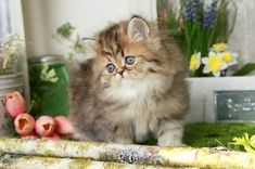 Shaded Golden Tabby Persian Kitten. Meet Amelia, she incredibly sweet and playful.