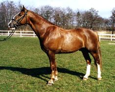 The breed of my mare; Frederiksborg.