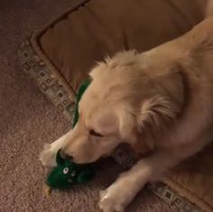 Owner dresses up as dog's favourite toy