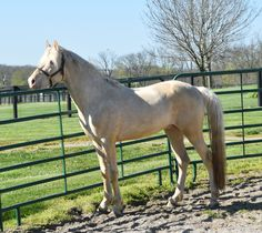 pinterest.com/gaitedmorgans  16 April 2016 http://gaitedmorgans.com Jellico Farms Naturally Gaited Morgans  .  502-647-1572.  gaitedmorgans@jellicofarms.com  Three year old cremello Gaited Morgan stallion Jellico Creme De La Creme who will be saddle trained late fall or early next year.