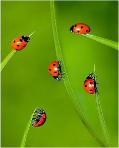 ladybugs meeting