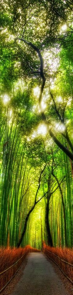 The Bamboo Forest, Japan