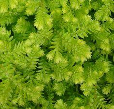 Selaginella kraussiana (Krauss Spikemoss)