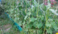 De ce e bine să plantați porumb pe patul de castraveți și alte câteva sfaturi istețe din partea grădinarilor! - Retete Usoare Delphinium, Calendula, Gardening, Plant, Garten, Delphiniums, Lawn And Garden, Garden, Square Foot Gardening