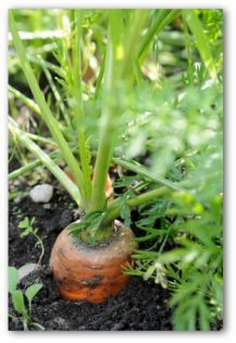 Planting Carrots in Container Gardens....In-ground gardens are not necessary for growing carrots; this vegetable can be grown easily in a container garden.