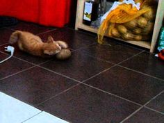 Ginger Attacking Large Potato--hilarious. I love cats