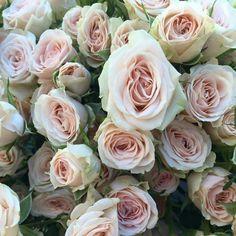 Peach spray rose