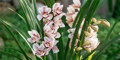 Όσα πρέπει να γνωρίζουμε για τις ορχιδέες σιμπίντιουμ (Cymbidium) και τη φροντίδα τους. Συμβουλές για τη μεταφύτευση, το πότισμα και την περιποίηση που θέλουν. Beautiful Flowers, Plants, Image, Gardening, Lawn And Garden, Plant, Planets, Horticulture