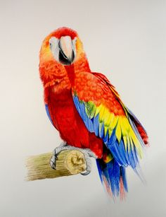 Jonathan Newey breaks down this fantastic picture into bitesize chunks so that you too can paint this majestic scarlet macaw - available now on ArtTutor Macaw Parrot For Sale, Online Art School, Colored Pencil Tutorial, Art Tutor, Coloured Pencils, Color Pencil Art, Bird Illustration, Bird Pictures, Watercolor Bird