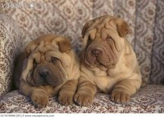 Shar-Pei Puppies Sitting in Chair