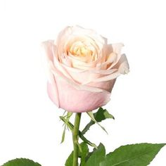 FiftyFlowers.com - Toscanini Cream with Light Pink Rose - 25 Roses for $59.99