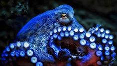 Octopuses have blue blood. To survive in the deep ocean, the octopus evolved a copper-based blood called hemocyanin (rather than ours, which is iron-based) which creates a blue color. -- 22 Octopus Facts That Are Definitely Worth Ogling Octopus Vulgaris, Types Of Octopus, Common Octopus, Underwater Creatures, Ocean Creatures, Underwater World, Octopus Facts, Octopus Octopus, Octopus Video