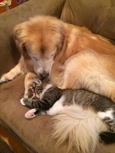 Pete the cat helps Golden Retriever Lucy with her separation anxiety Raining Cats And Dogs, Cute Cats And Dogs, Cats And Kittens, Dog Separation Anxiety, Dog Anxiety, Baby Animals, Funny Animals, Cute Animals, Pet Dogs