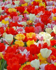 Tulip Darwin Hybrid Mixed Colours