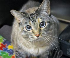 If you are looking to adopt a cat, let me introduce you to Melinda, currently living at the Seattle Animal Shelter.