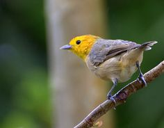 Orange-headed Tanager (Thlypopsis sordida). Tanagers are small to medium-sized birds. The shortest-bodied species, the White-eared Conebill, is 9 cm (3.8 in) long and weighs 7 grams. The longest, the Magpie Tanager is 28 cm (11 in) and weighs 76 grams (2.7 oz). The heaviest is the White-capped Tanager which weighs 114 grams (4 oz) and measures about 24 cm (9.5 in). Both sexes are usually the same size and weight. Birds in their first year are often duller or a different color altogether.