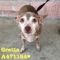 **PAST DEADLINE! Needs Commitment** #471184 Gretta is an older girl who just wants a warm bed to cuddle into. She is very sweet and likes being gently pet. Will you give this cutie a forever home to live out her senior years in? Gretta is around 8 years old and weighs about 7-8 lbs