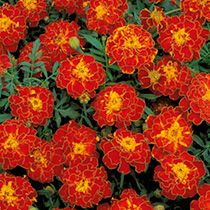 Red Marigold Flower Seeds/Tagetes Patula Nana Double Brocade/Annual by MyFlowerGrounds on Etsy