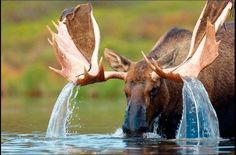 Water cascading off a Bull Moose' antlers Nature Animals, Animals And Pets, Funny Animals, Cute Animals, Wild Life, Beautiful Creatures, Animals Beautiful, Bull Moose, Moose Hunting