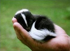 Baby skunks learn how to use their defensive stink spray in the first few weeks of life. The musky spray, produced by their anal glands is capable of blinding predators when sprayed at close distances.