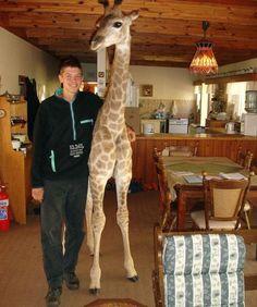 Pet Giraffe!