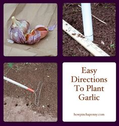 5 steps to plant garlic