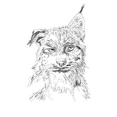 how to draw a lynx