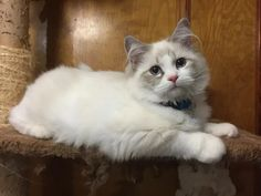 Welcome to Genotype Cats - Ragdoll Cats Kittens, Ragdoll Cats, Animals, Shop, Lynx, Cute Kittens, Animales, Animaux, Kitty Cats