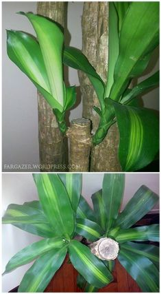 Easy To Grow Houseplants Clean the Air Known In The Philippines As Fortune Plant Also Called As Corn Plant, Dracaena Fragrans Massangeana Care And Guide Instructions. Their Blooms Have A Very Sweet Fragrance. Water Plants, Garden Plants, Indoor Plants, House Plants, Potted Plants, Vegetable Garden, Corn Plant Care, Snake Plant Care, Dracena Plant