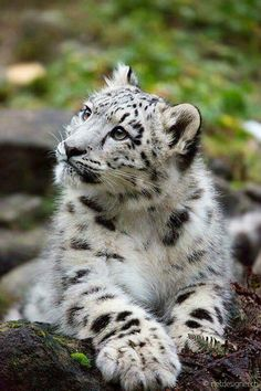 Snow Leopard beauty