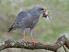 The (Southern) Pale Chanting Goshawk - Melierax canorus, is a bird of prey. This hawk breeds in southern Africa.