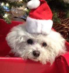 Christmas Bichon, Daphne!