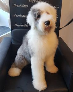 We had the pleasure of this gorgeous boy in for the first time! Marvin is a 6 month Old English Sheepdog. He's a nervous boy so we took our time he settled in just perfectly. We fell in love with this fabulous fluffy puppy! Tiny Puppies, Fluffy Puppies, Cute Puppies, Cute Dogs, Puppies Tips, Retriever Puppy, Dogs Golden Retriever, Sheepadoodle Puppy, Pomsky Puppies
