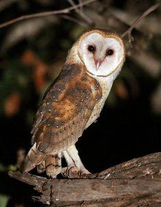 Barn  Owl (Tyto alba) - Picture 4 in Tyto: alba - Location: Ventura, California, USA. June 2013. Photo by Jeff Cartier.