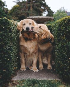 Old Golden Retrievers Pugs - Franklin Flagg English Golden Retriever Puppy, English Golden Retrievers, Old Golden Retriever, Funny Golden Retrievers, Golden Retriever Rescue, Golden Puppy, Cute Puppies, Cute Dogs, Dogs And Puppies