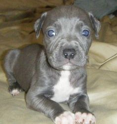 I love blue pits, poor guys have such a bad rap.  I believe they are made not born to be mean.