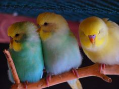 Kerstin Wellensittichzucht's budgies   - at https://www.facebook.com/photo.php?fbid=189325031173130