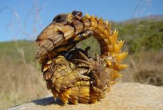 11 Species-Bending Animals You Never Knew Existed *Hoop snake + lizard = armadillo girdled lizard