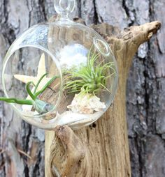 Items similar to Air plant terrarium / beach terrarium / nautical theme gift / coastal gift / on Etsy What To Plant When, Air Plant Terrarium, Growing Plants, Nautical Theme, Air Plants, Home And Living, Gardening Tips, Diy Home Decor, Coastal