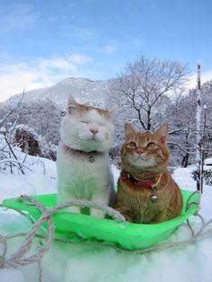 "cybergata: ""We're ready to go dashing through the snow."" Shironeko and his Best Friend Orange Cat."