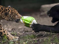 Animales mundialistas (© RAUL ARBOLEDA/AFP/Getty Images)