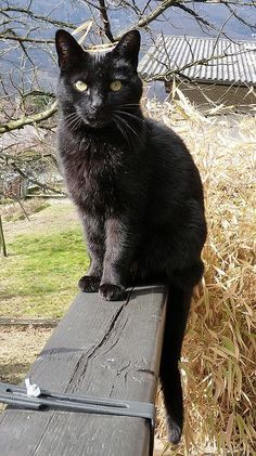 A black cat in the garden, at Rose cottages and gardens, Britain
