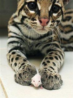 Ocelot #cat #mouse #bestfriend #bff #ocelot