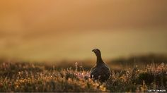 An easy target: the wild red grouse - which lives in the heather-clad hills of the British uplands - is managed not for conservation but for the…