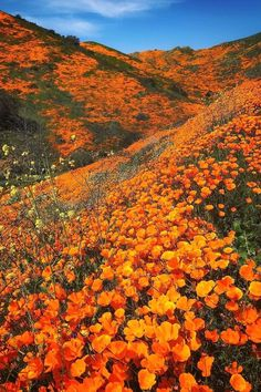 Walker Canyon California's state parks may see another spectacular floral display this spring—similar to the impressive… Orange Aesthetic, Nature Aesthetic, Flower Aesthetic, Des Fleurs Pour Algernon, Beautiful World, Beautiful Gardens, Landscape Photography, Nature Photography, California Poppy